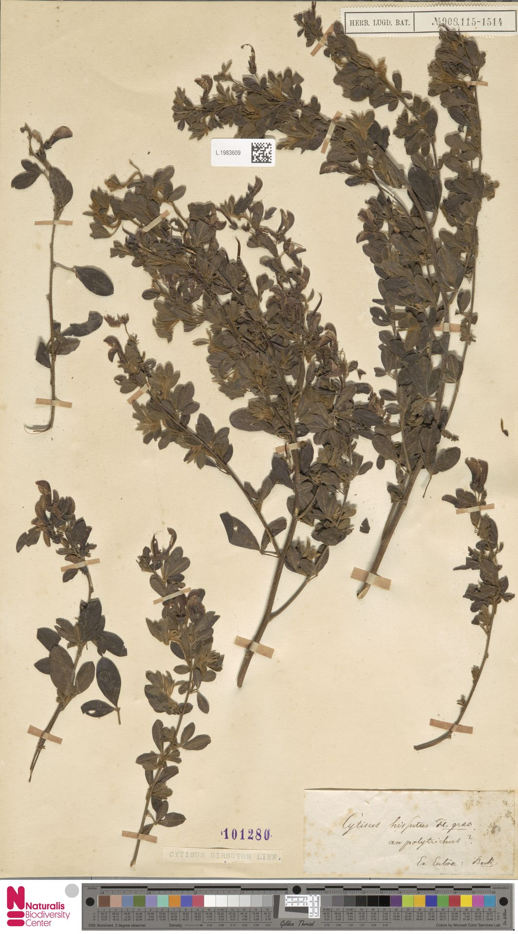 L.1983609 | Cytisus hirsutus L.
