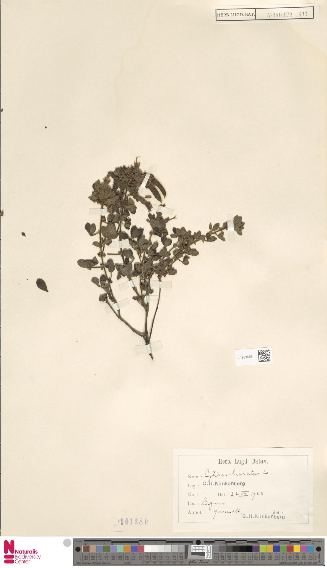 L.1983610 | Cytisus hirsutus L.