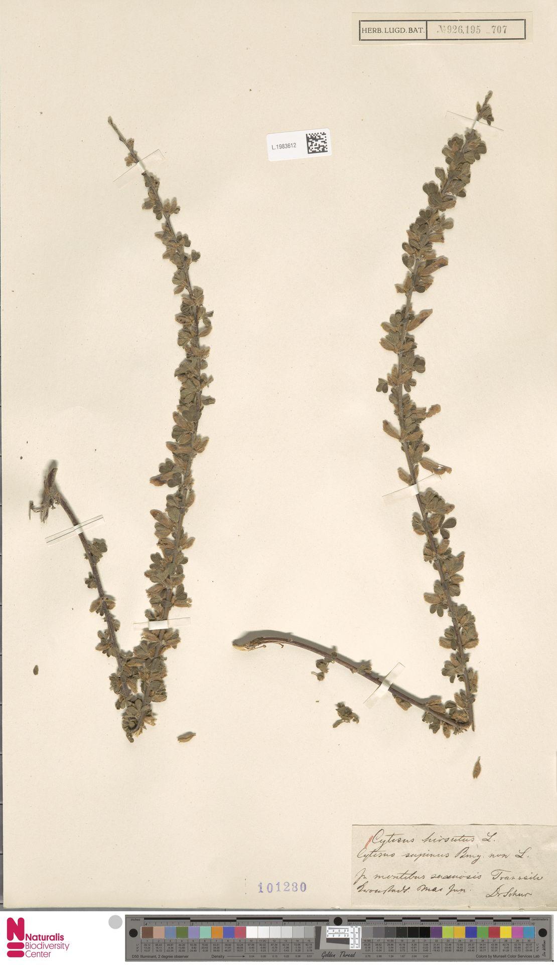 L.1983612   Cytisus hirsutus L.