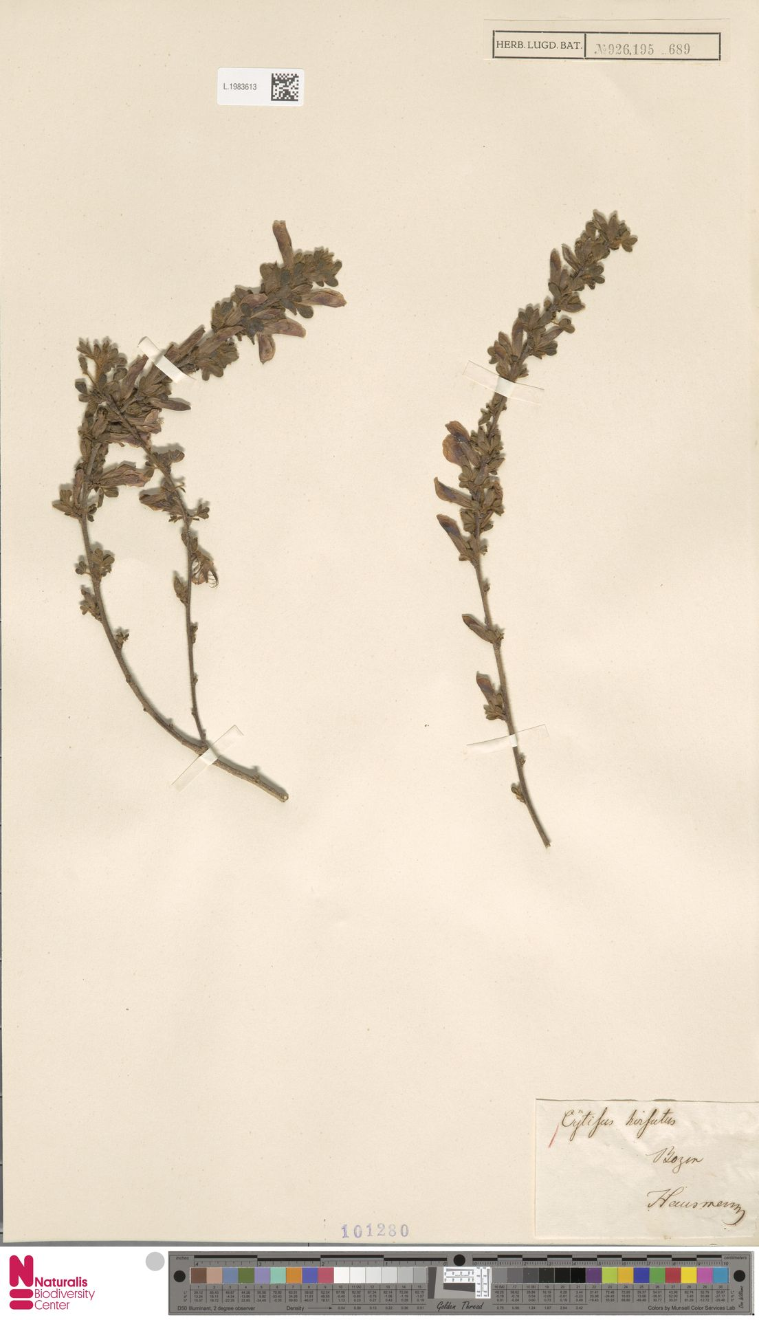 L.1983613 | Cytisus hirsutus L.