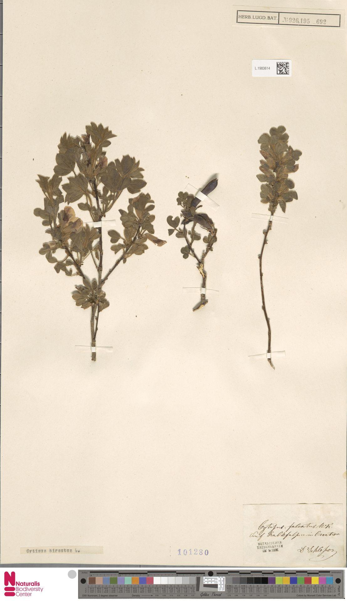 L.1983614 | Cytisus hirsutus L.