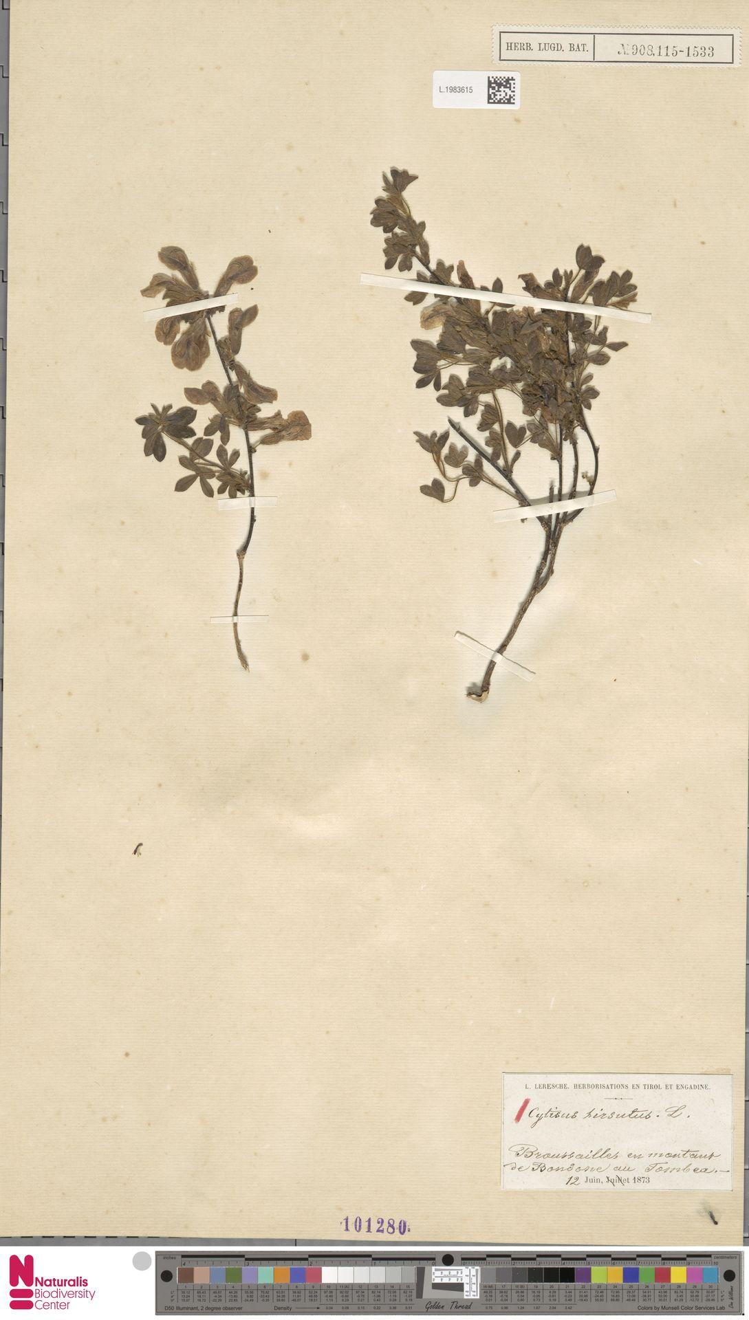 L.1983615 | Cytisus hirsutus L.