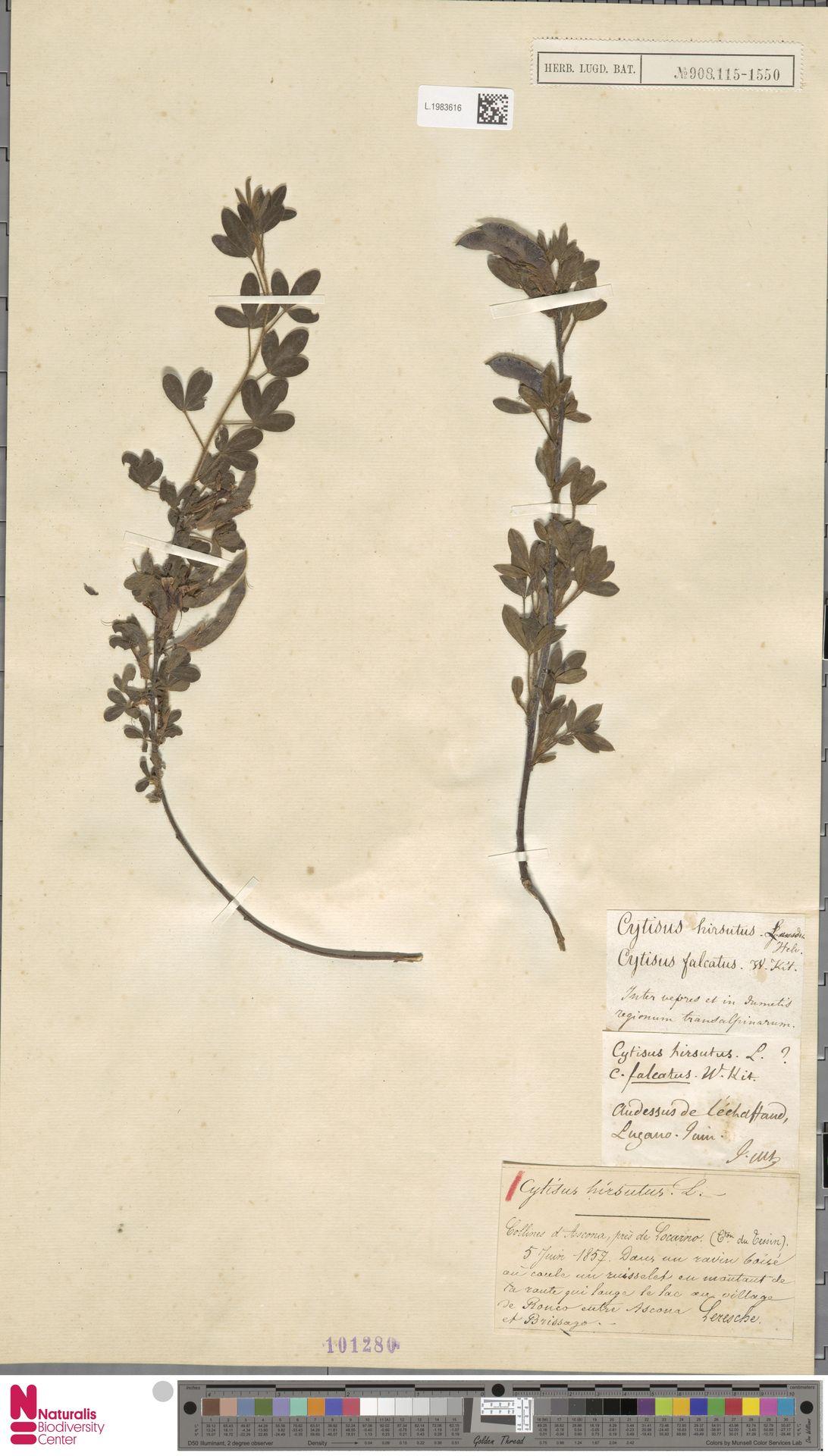 L.1983616 | Cytisus hirsutus L.