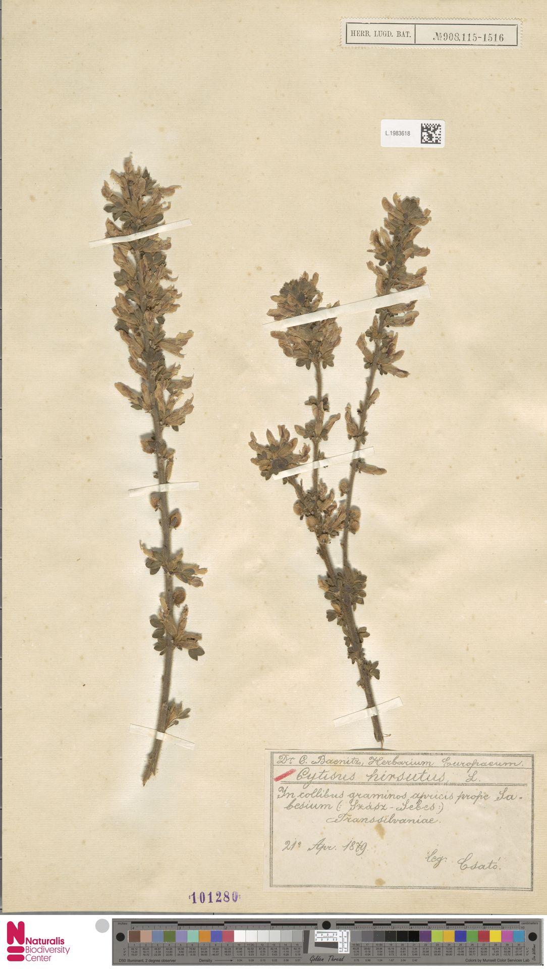 L.1983618 | Cytisus hirsutus L.