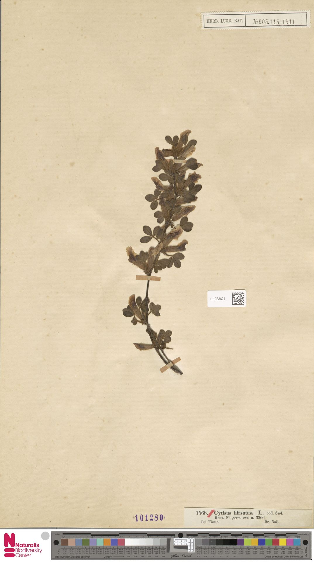 L.1983621 | Cytisus hirsutus L.