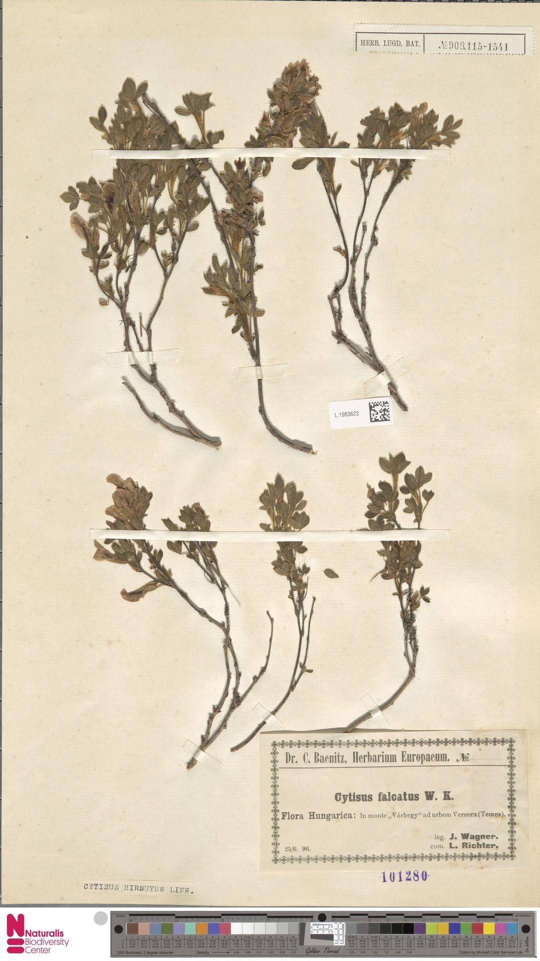 L.1983622 | Cytisus hirsutus L.