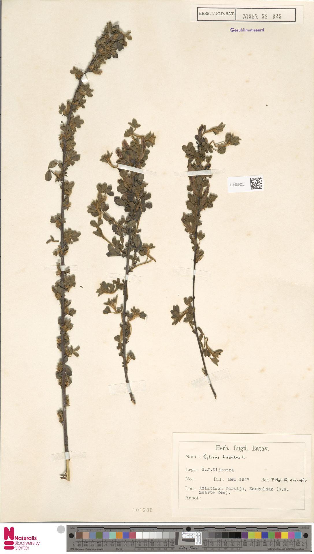 L.1983623   Cytisus hirsutus L.