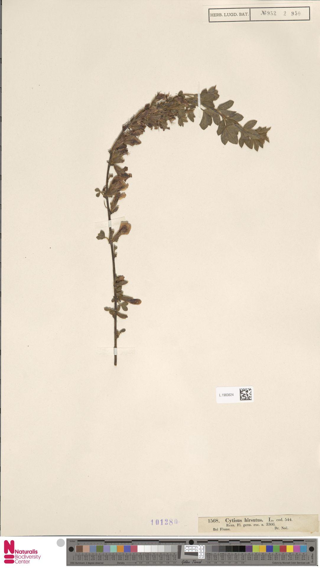 L.1983624 | Cytisus hirsutus L.