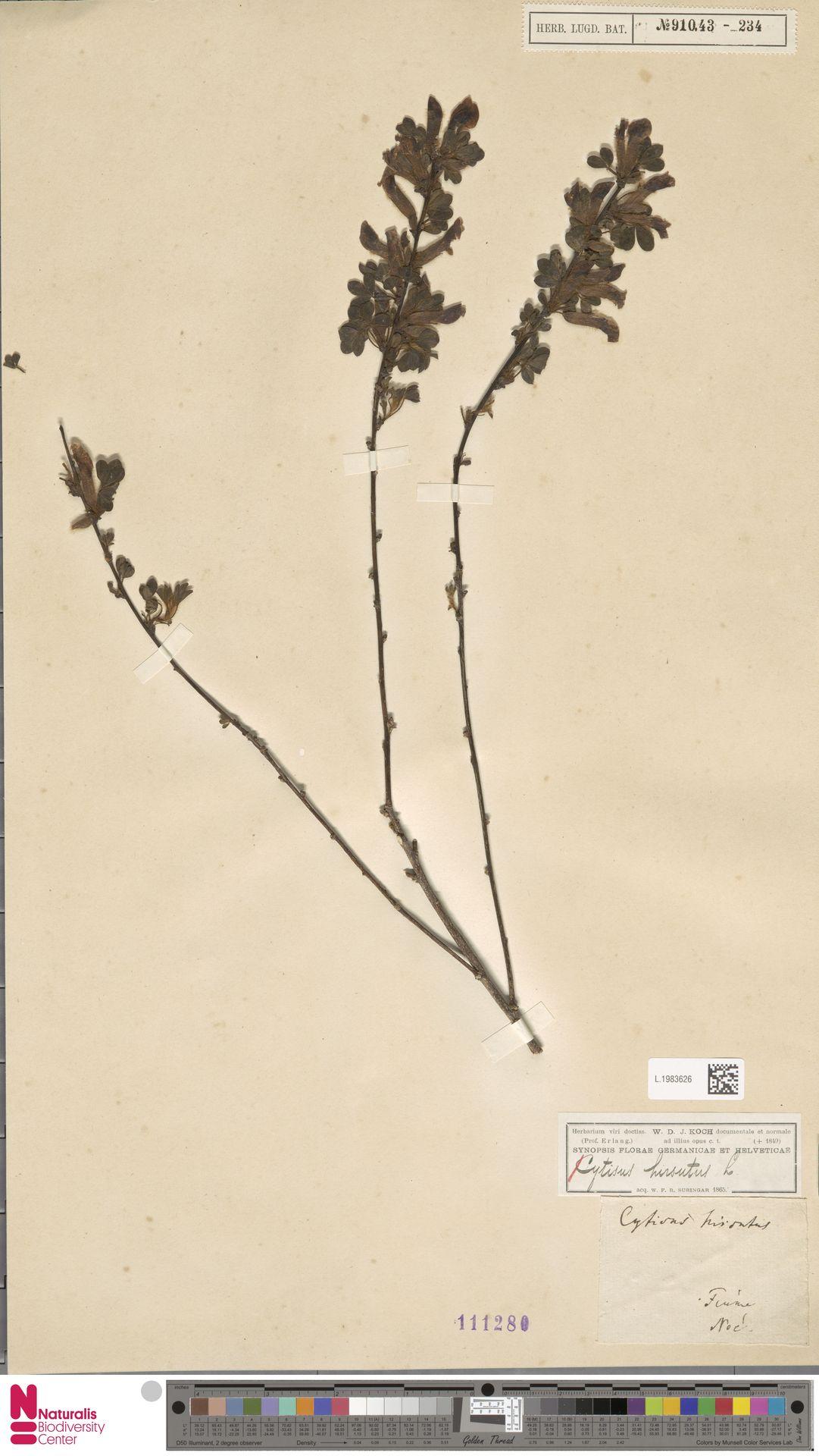L.1983626 | Cytisus hirsutus L.