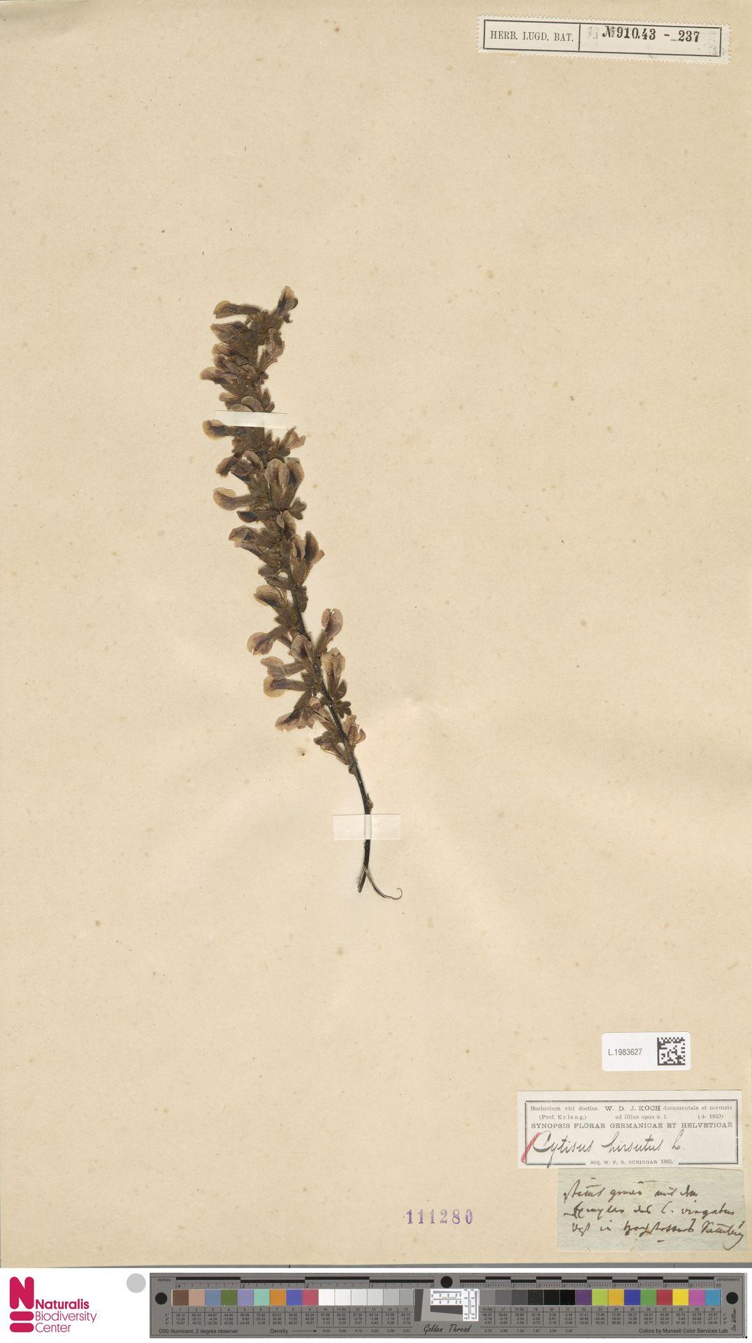 L.1983627 | Cytisus hirsutus L.