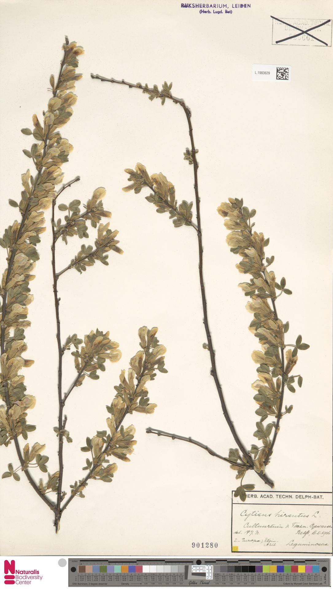 L.1983629 | Cytisus hirsutus L.