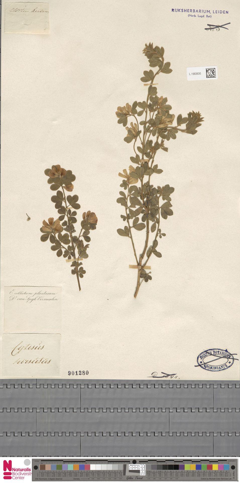 L.1983630 | Cytisus hirsutus L.