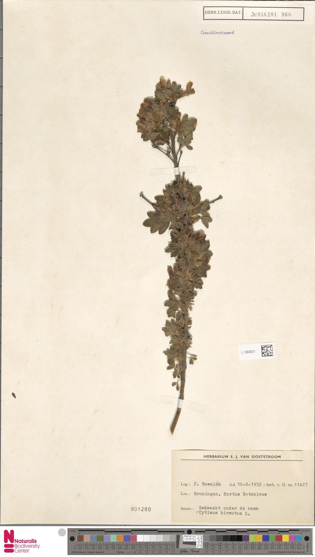 L.1983631 | Cytisus hirsutus L.