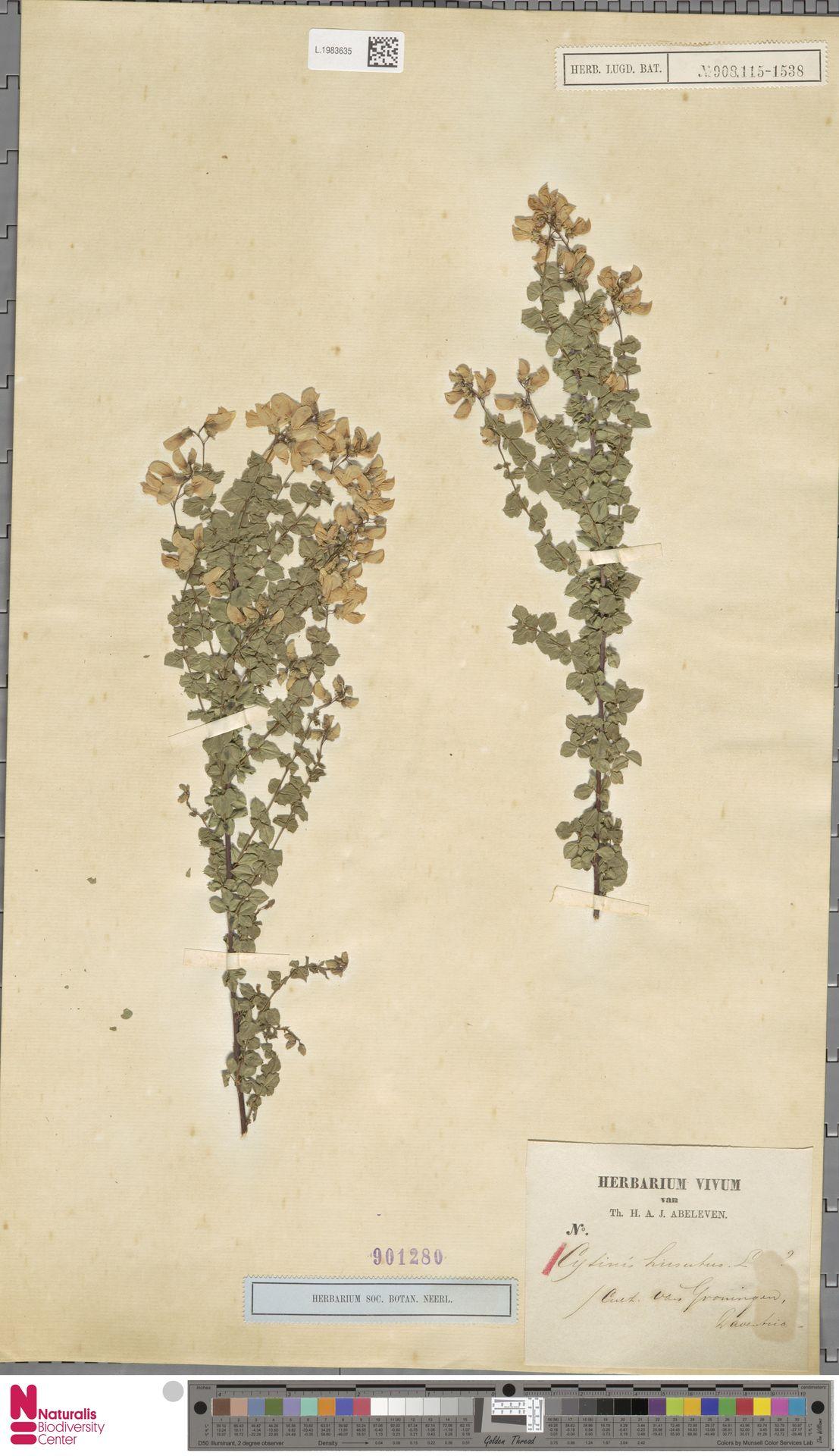 L.1983635 | Cytisus hirsutus L.