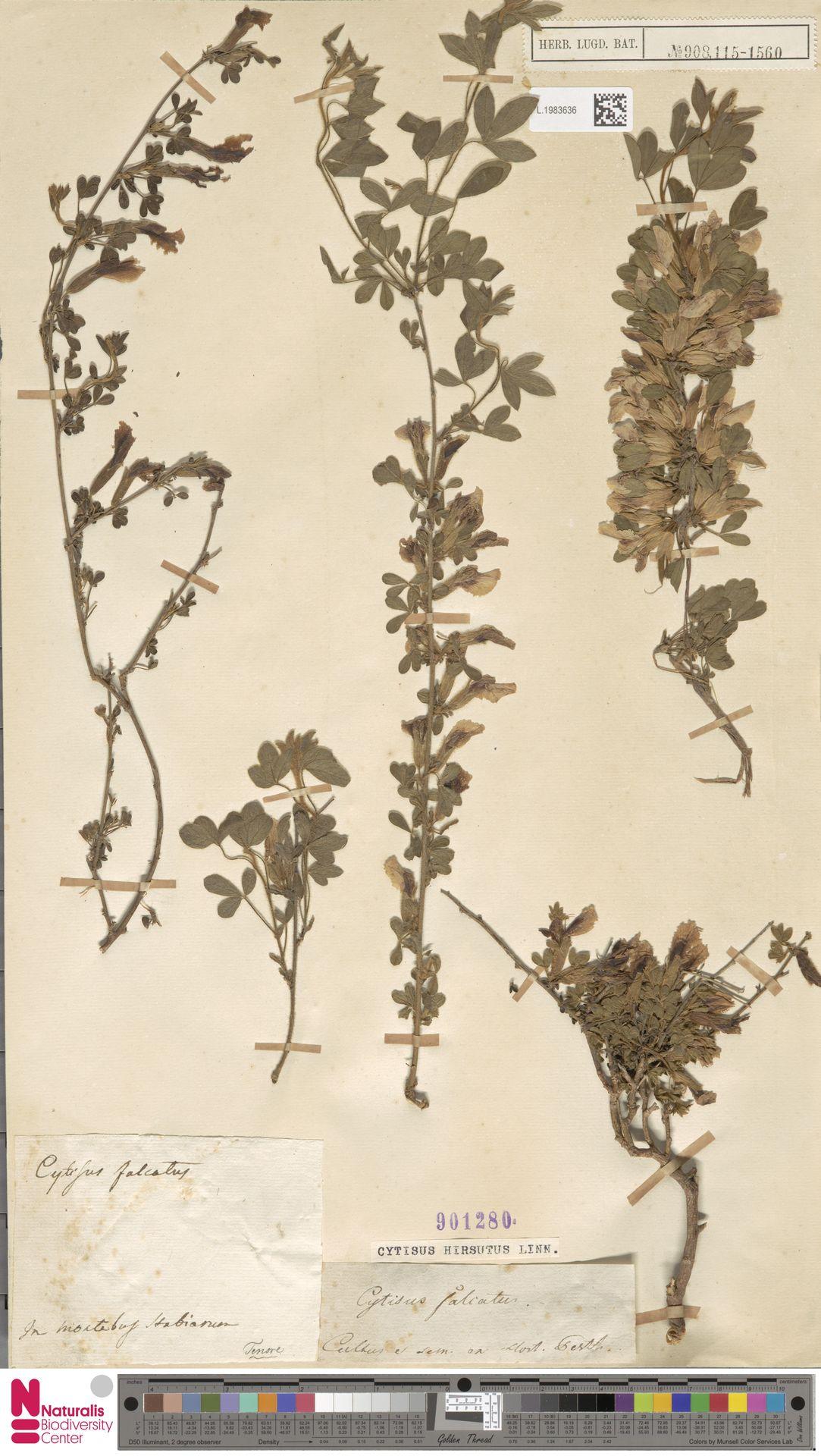 L.1983636 | Cytisus hirsutus L.