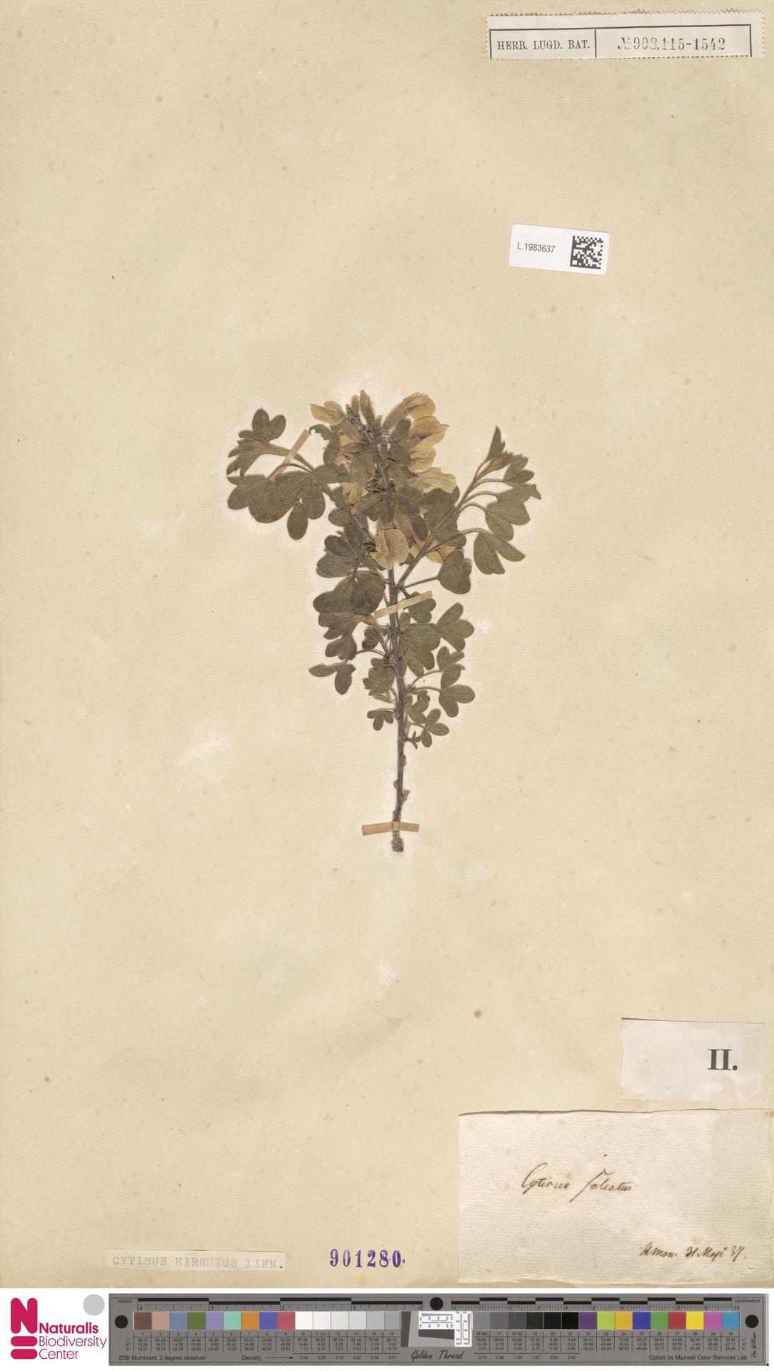 L.1983637   Cytisus hirsutus L.