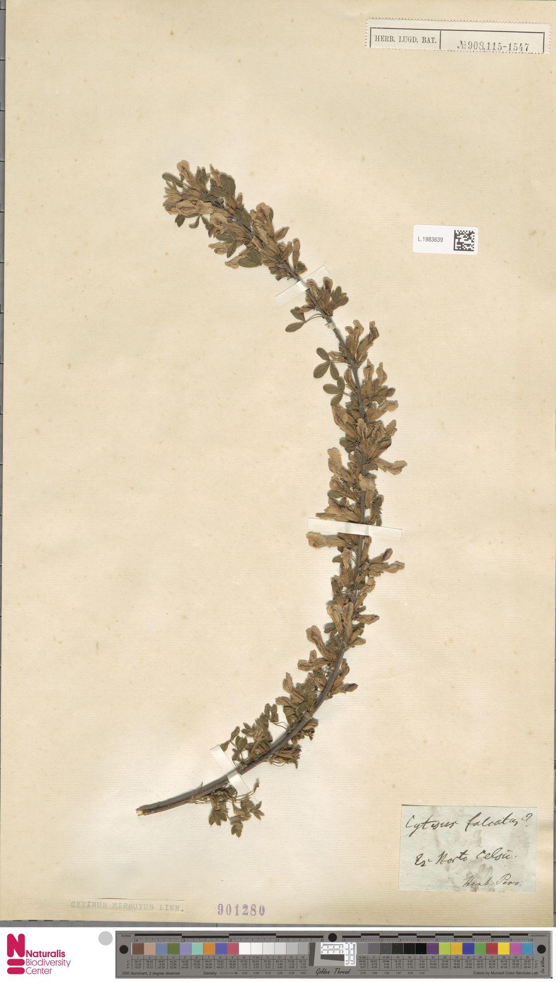 L.1983639 | Cytisus hirsutus L.