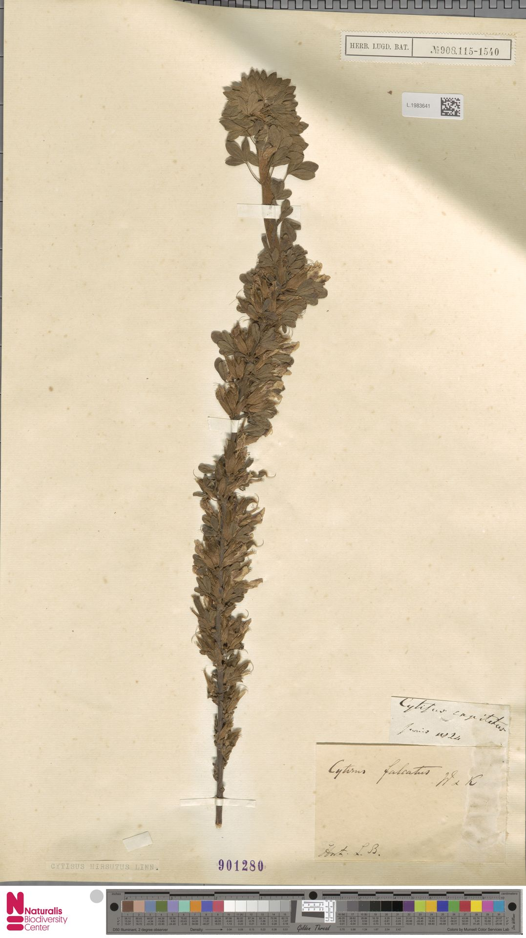 L.1983641 | Cytisus hirsutus L.