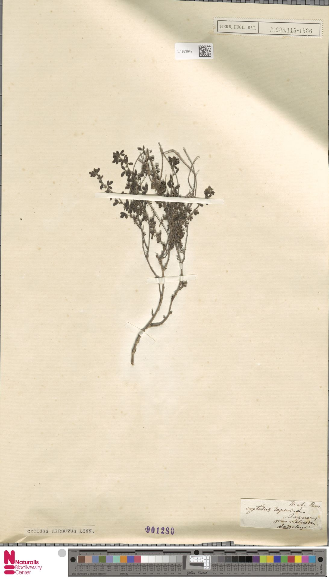 L.1983642 | Cytisus hirsutus L.