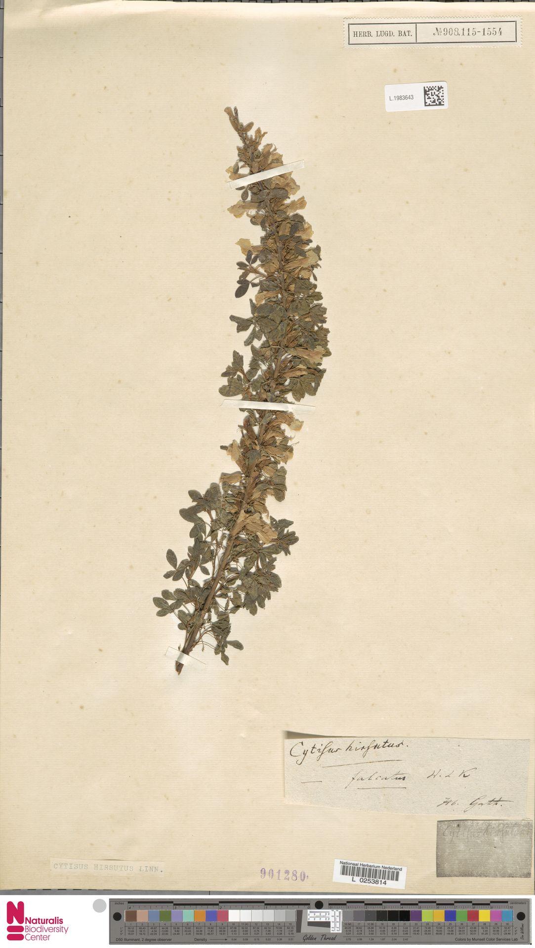 L.1983643 | Cytisus hirsutus L.