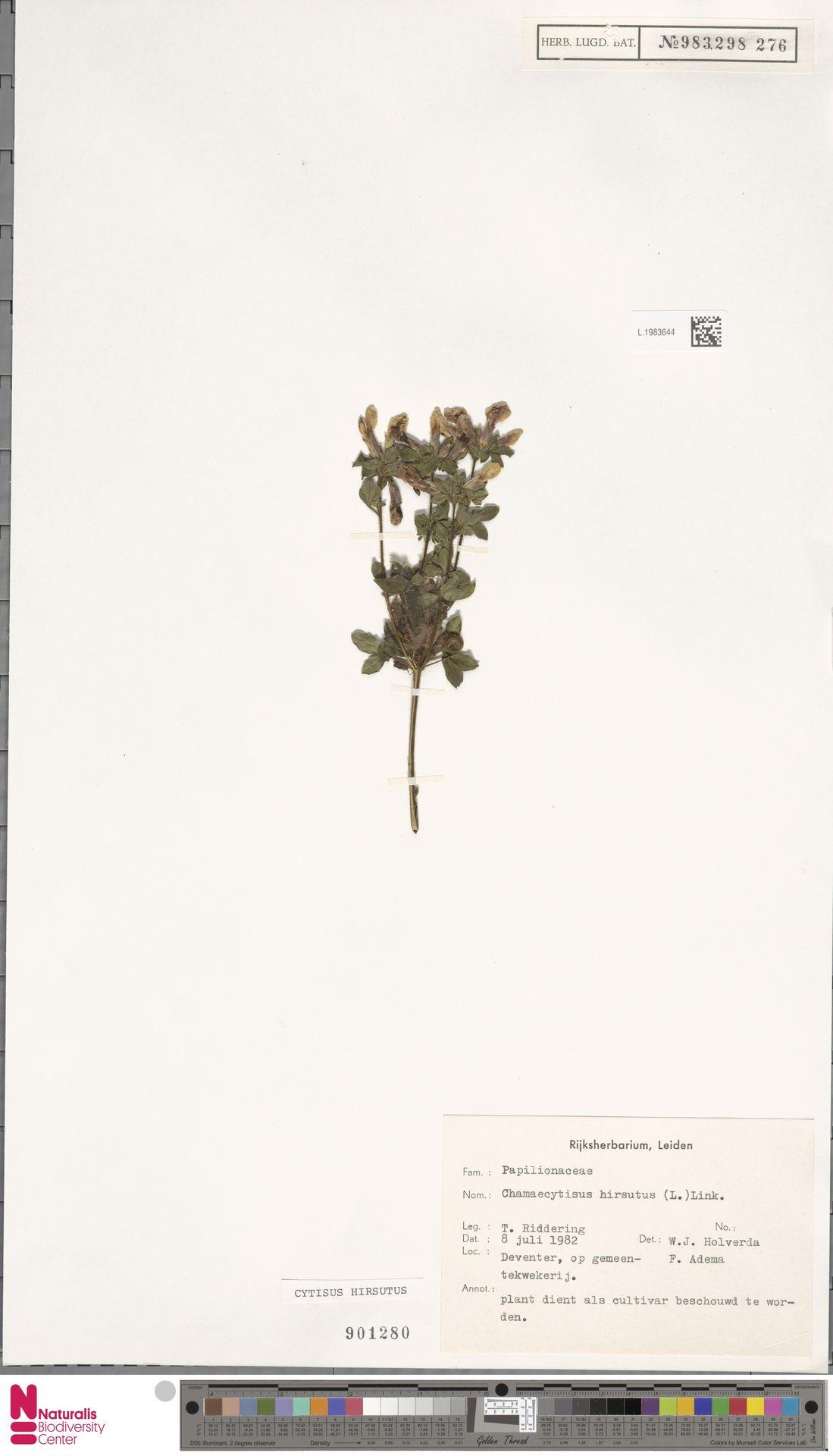 L.1983644 | Cytisus hirsutus L.