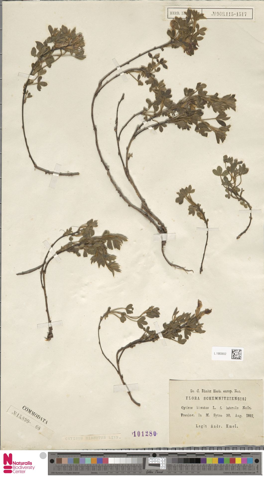 L.1983652 | Cytisus hirsutus L.