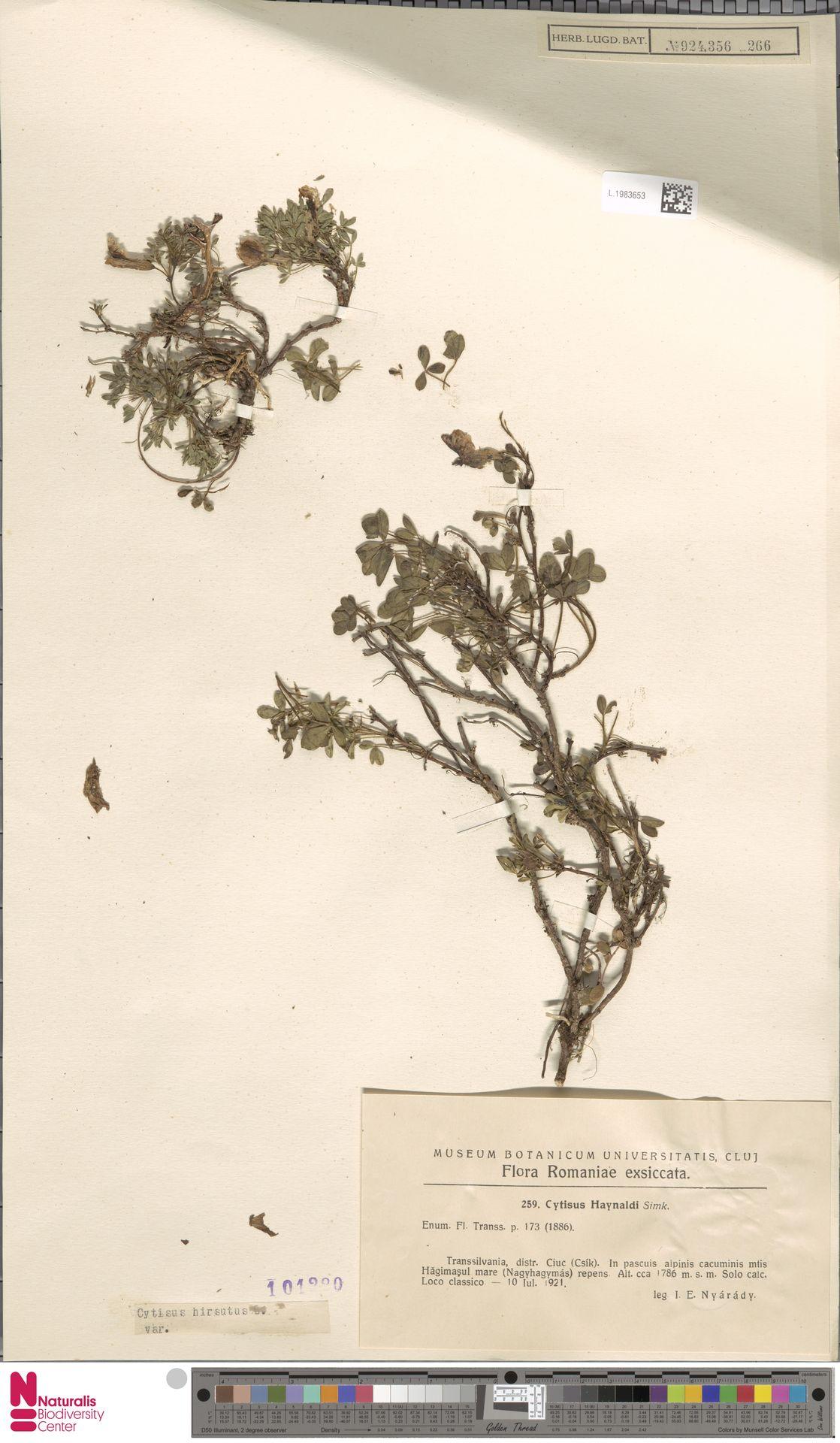 L.1983653 | Cytisus hirsutus L.