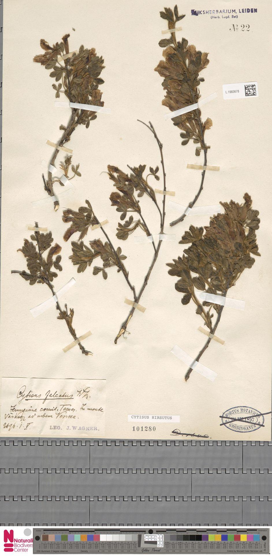 L.1983678 | Cytisus hirsutus L.