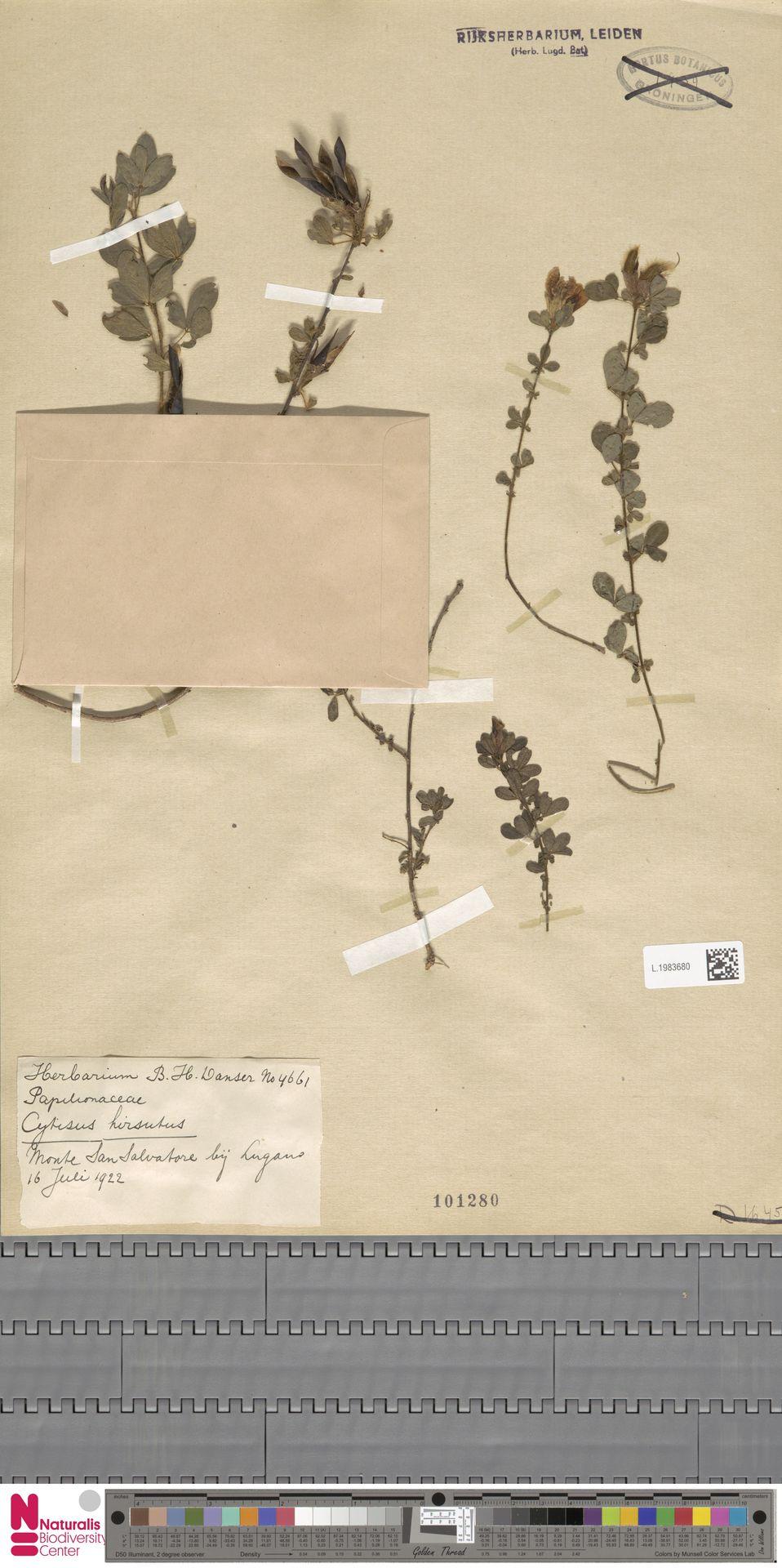 L.1983680 | Cytisus hirsutus L.