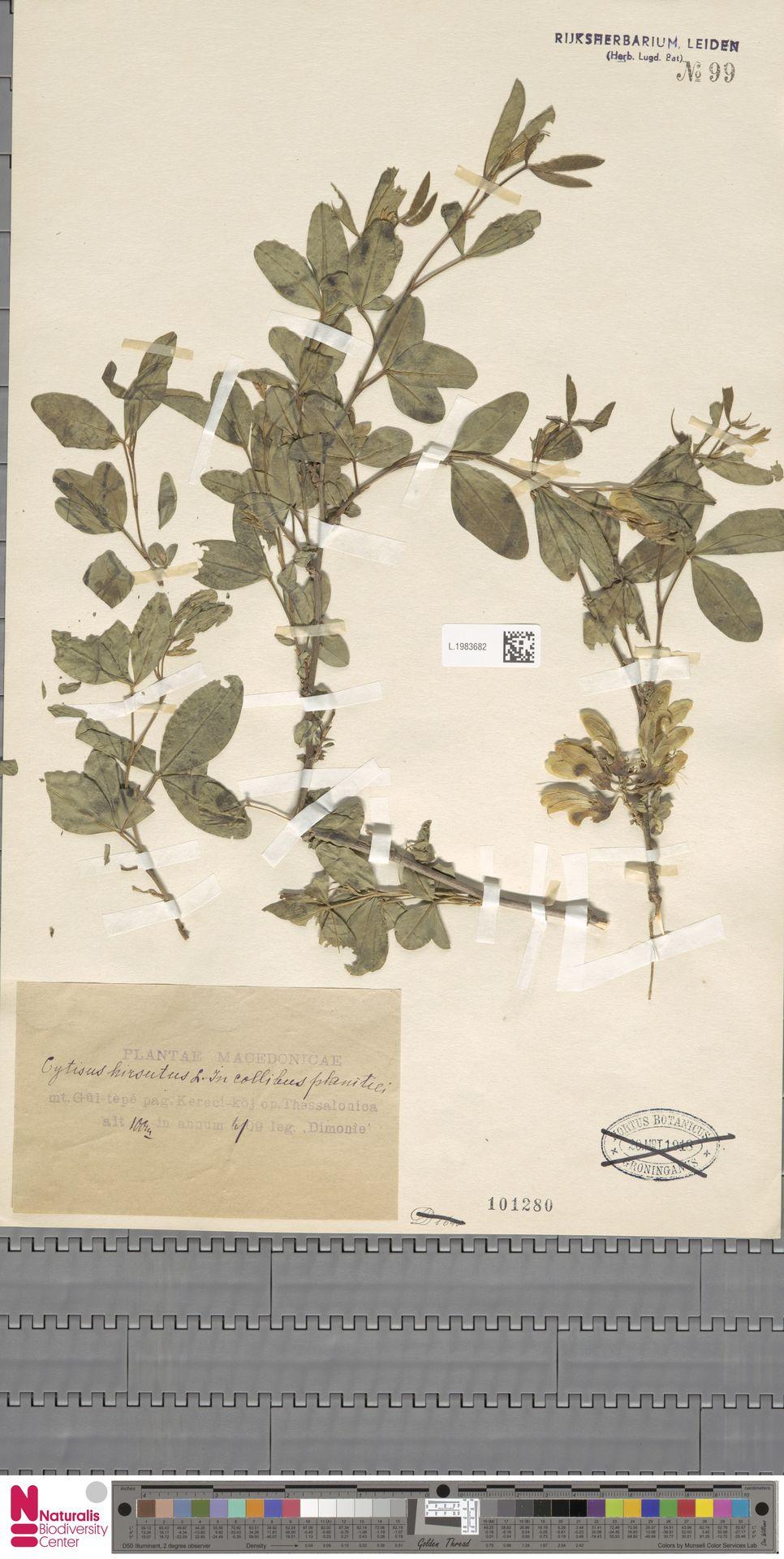 L.1983682 | Cytisus hirsutus L.