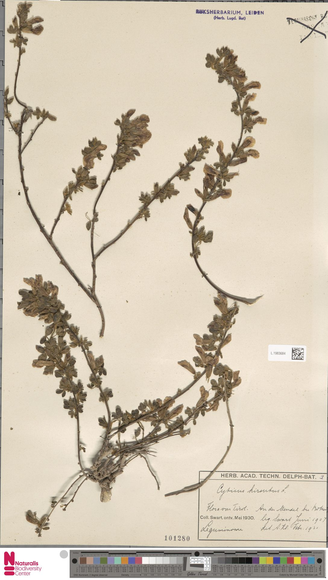 L.1983684 | Cytisus hirsutus L.