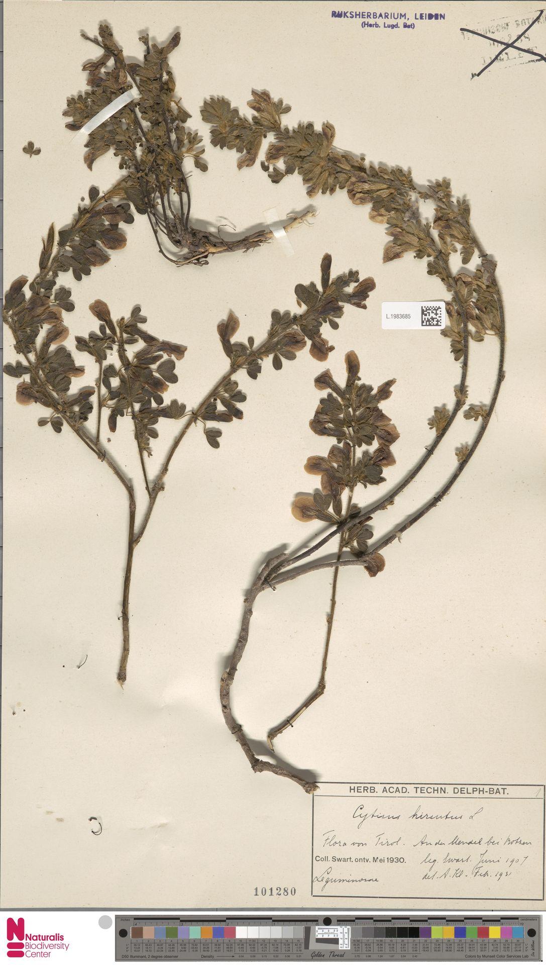 L.1983685 | Cytisus hirsutus L.