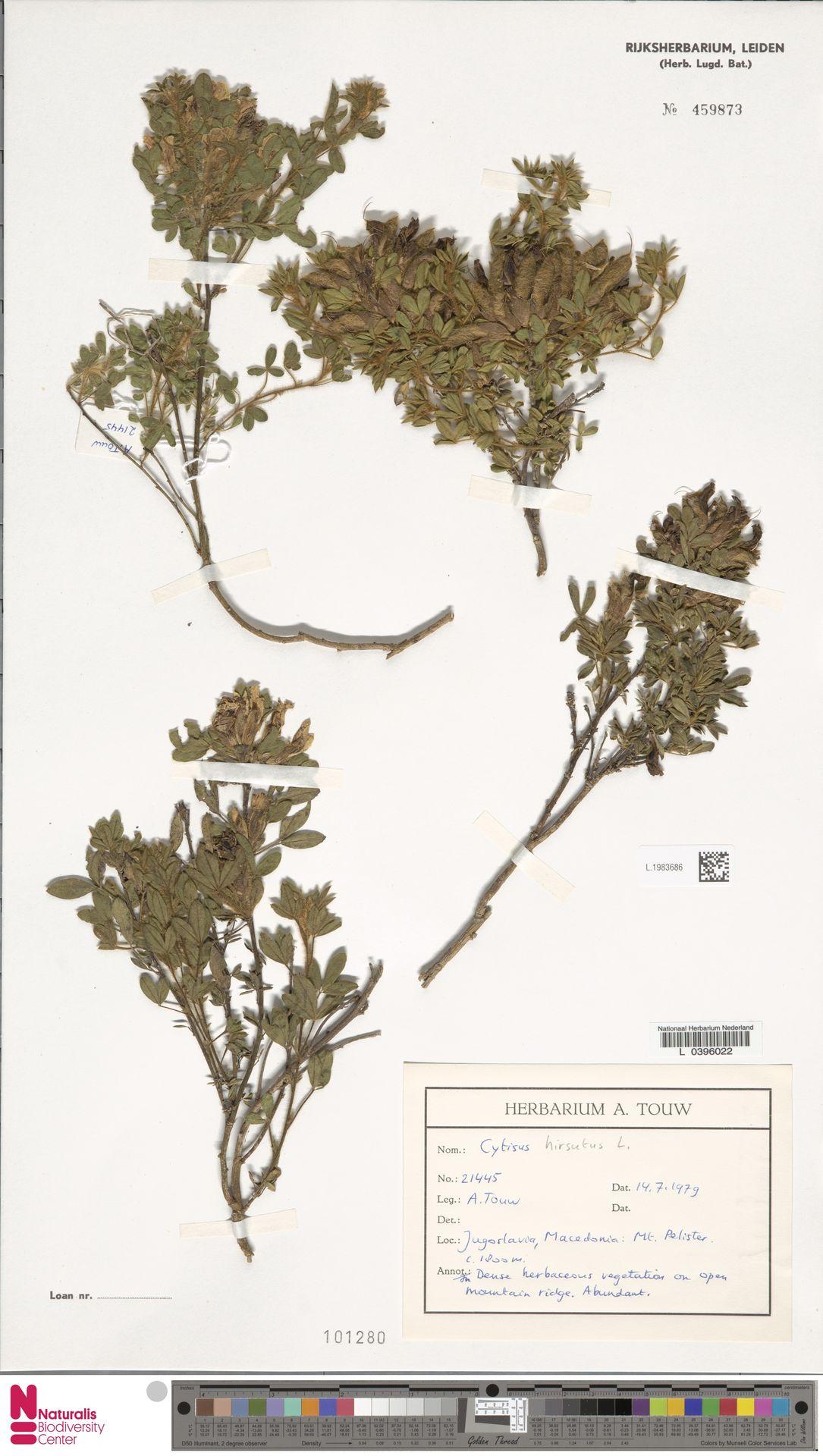 L.1983686 | Cytisus hirsutus L.