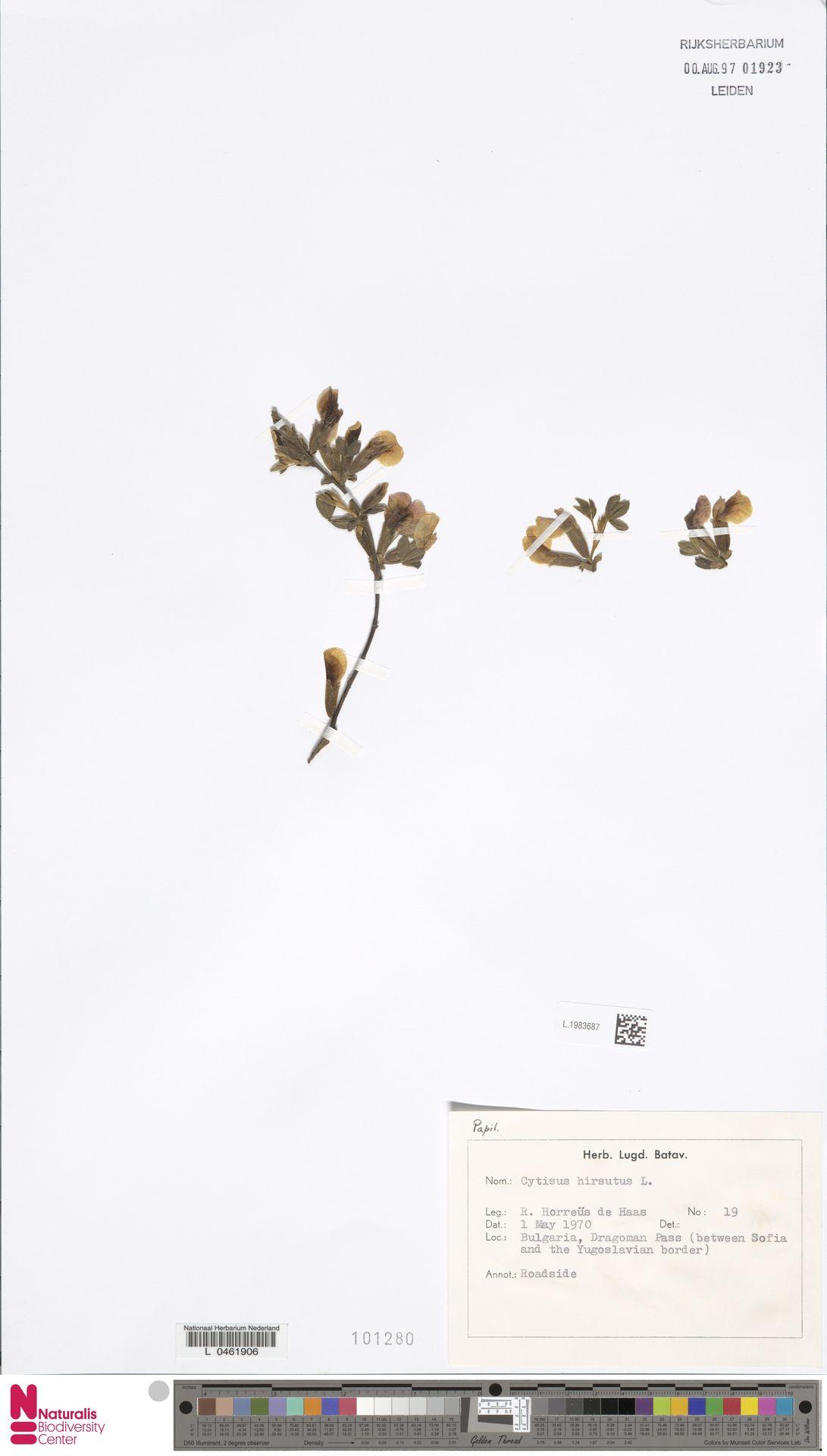 L.1983687 | Cytisus hirsutus L.