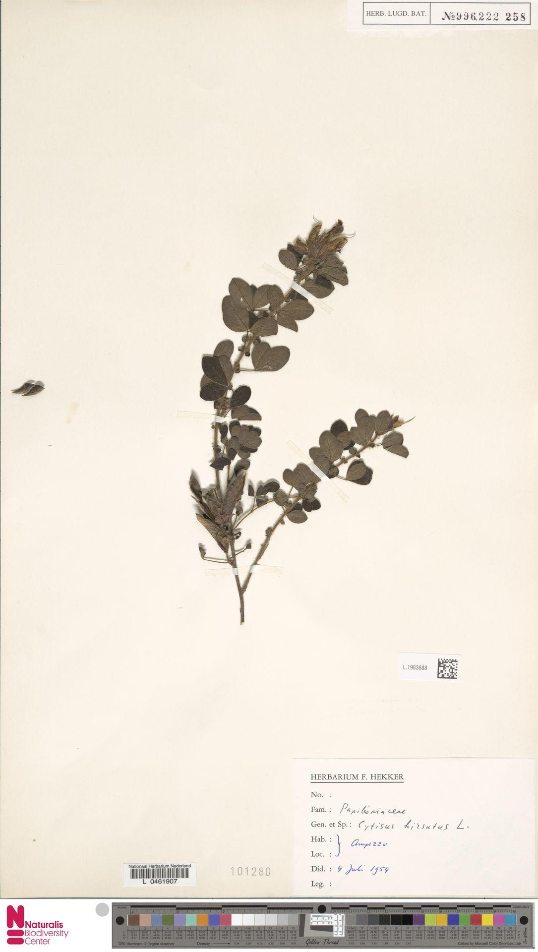 L.1983688 | Cytisus hirsutus L.