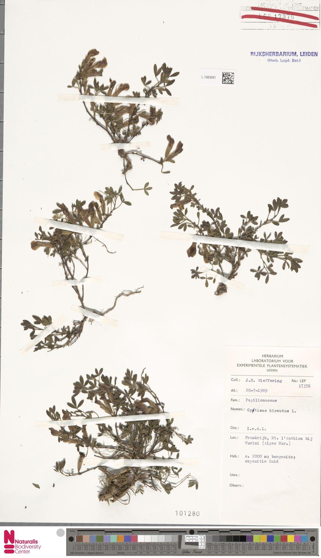 L.1983691 | Cytisus hirsutus L.