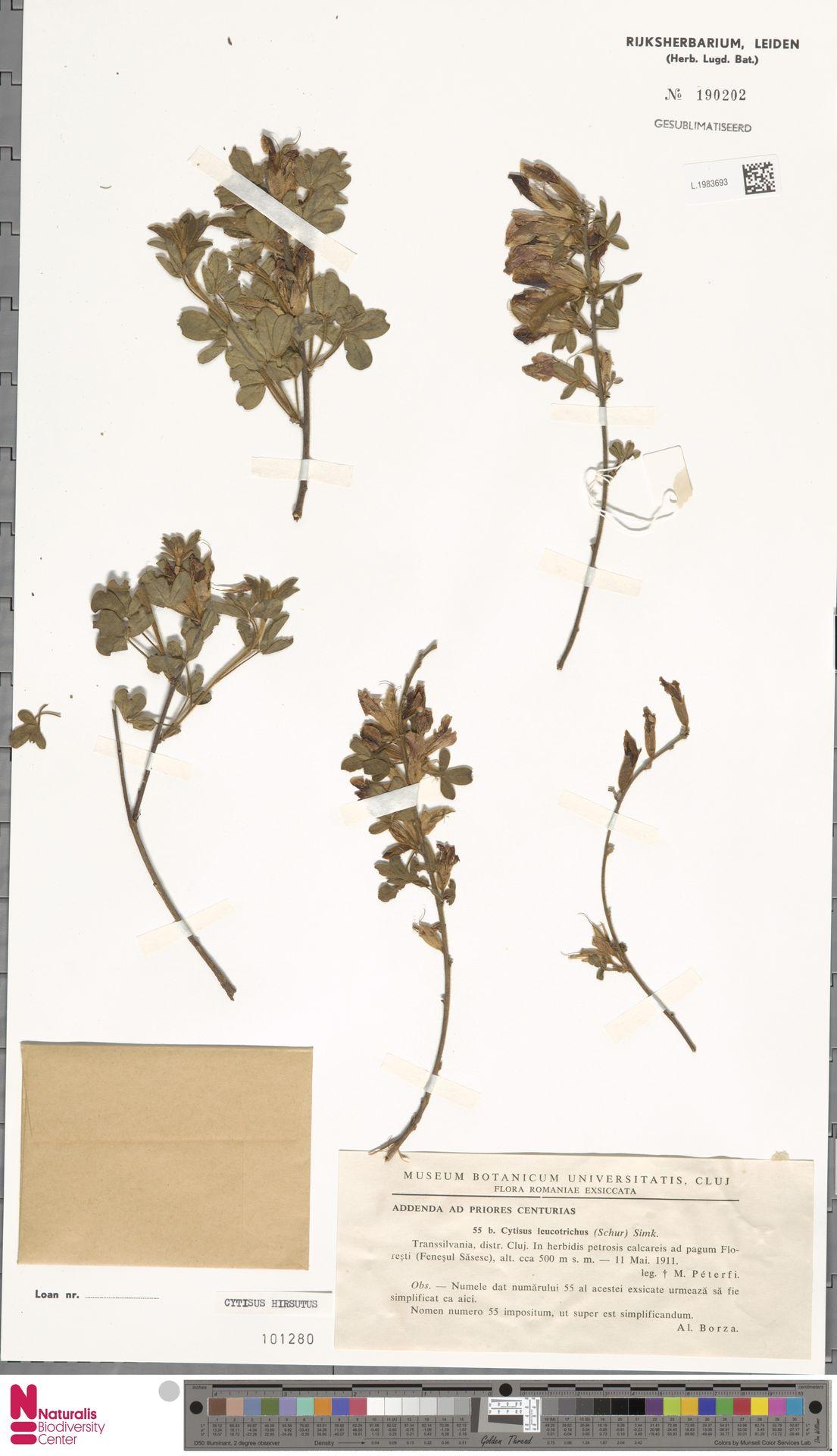 L.1983693 | Cytisus hirsutus L.