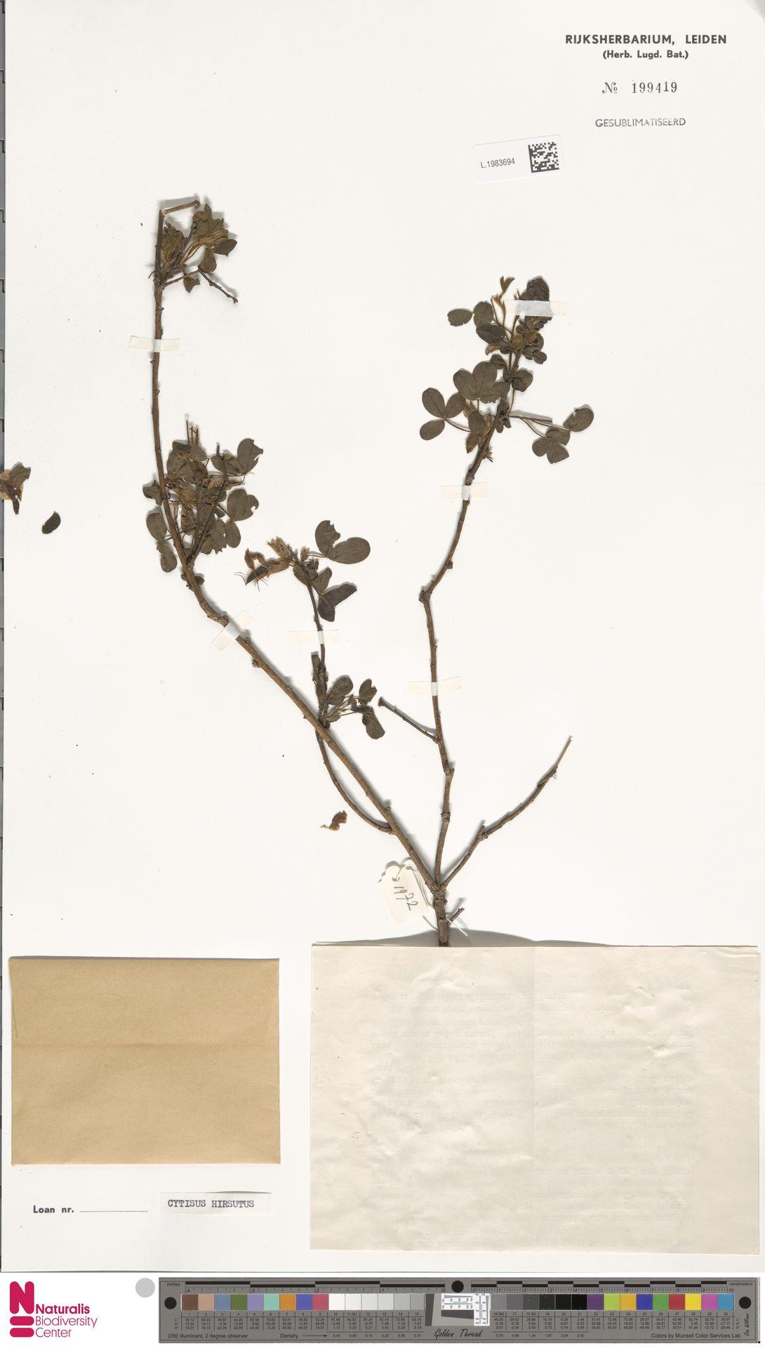 L.1983694 | Cytisus hirsutus L.