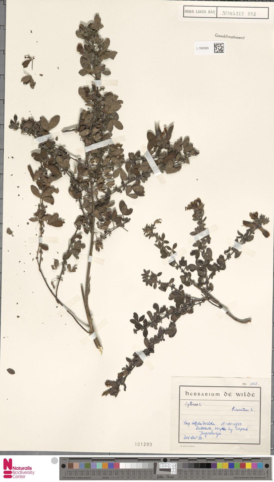 L.1983695   Cytisus hirsutus L.