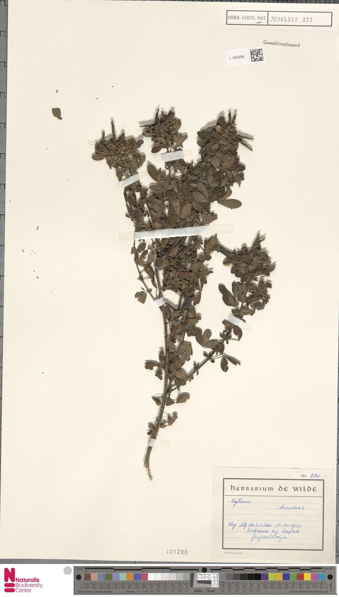 L.1983696   Cytisus hirsutus L.