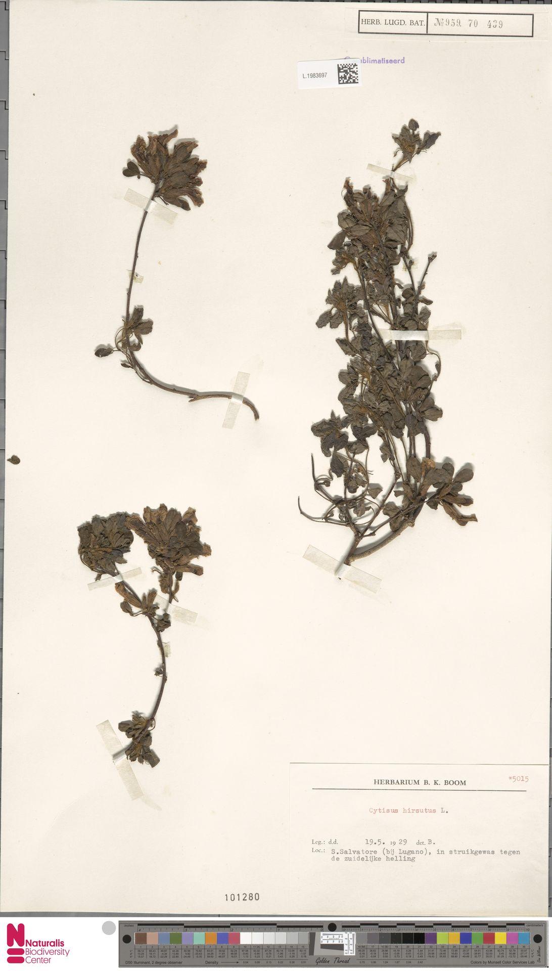 L.1983697 | Cytisus hirsutus L.