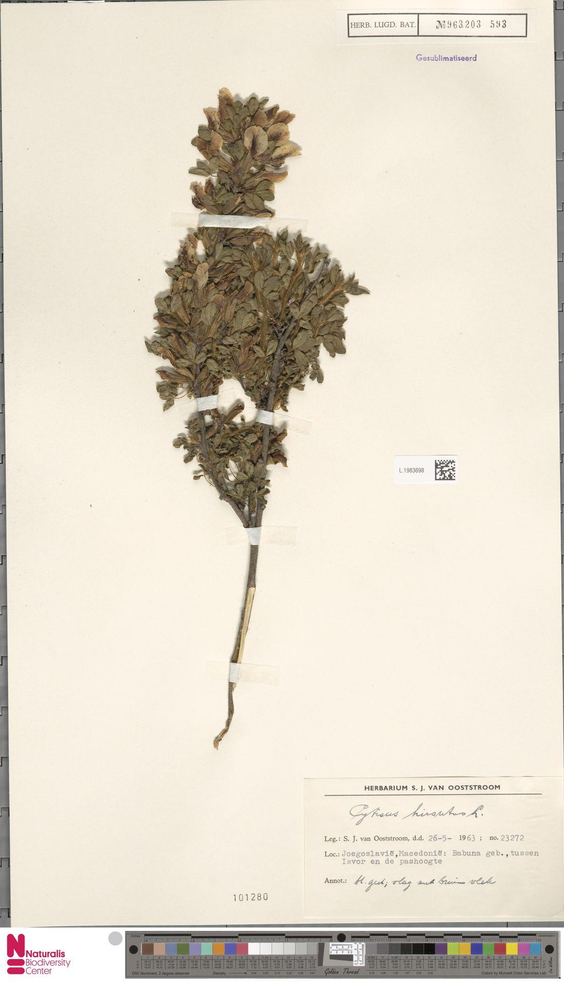 L.1983698 | Cytisus hirsutus L.