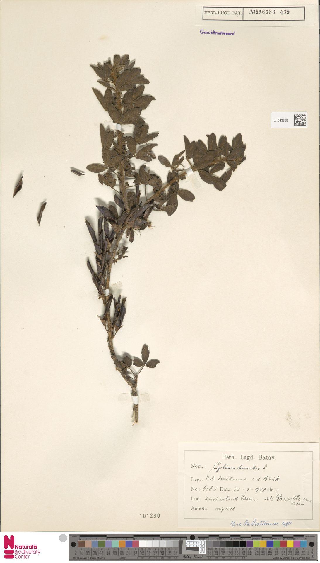 L.1983699 | Cytisus hirsutus L.