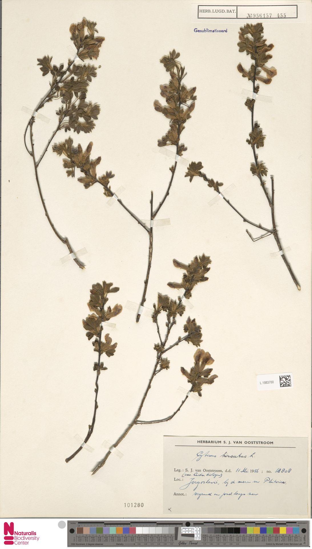 L.1983700 | Cytisus hirsutus L.