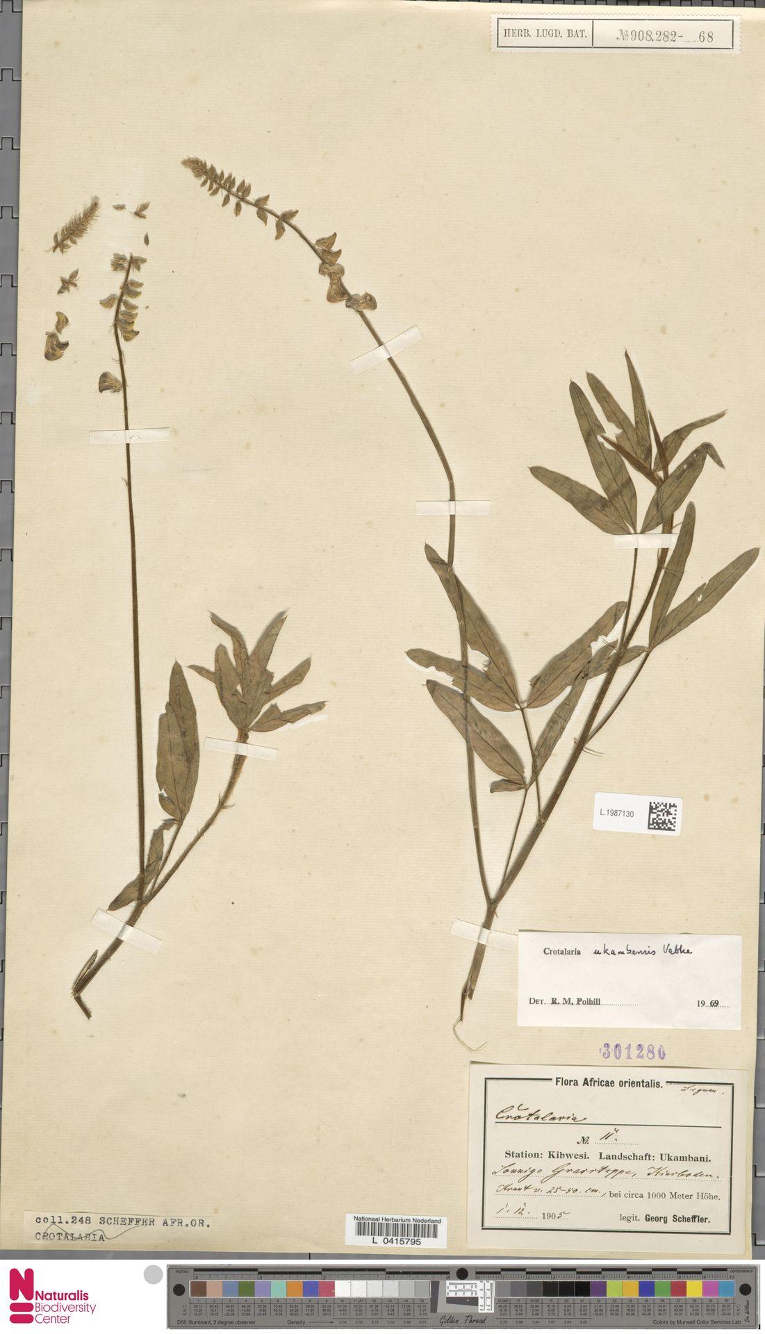 L.1987130 | Crotalaria ukambensis Vatke