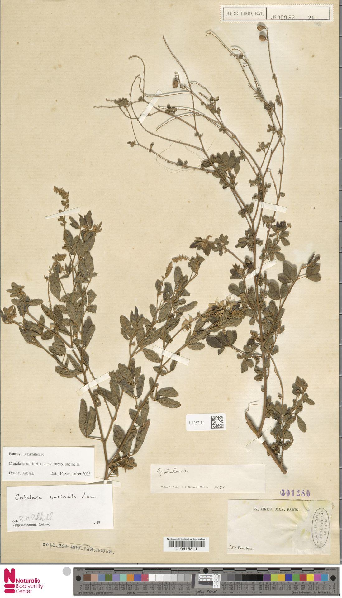 L.1987150   Crotalaria uncinella subsp. uncinella