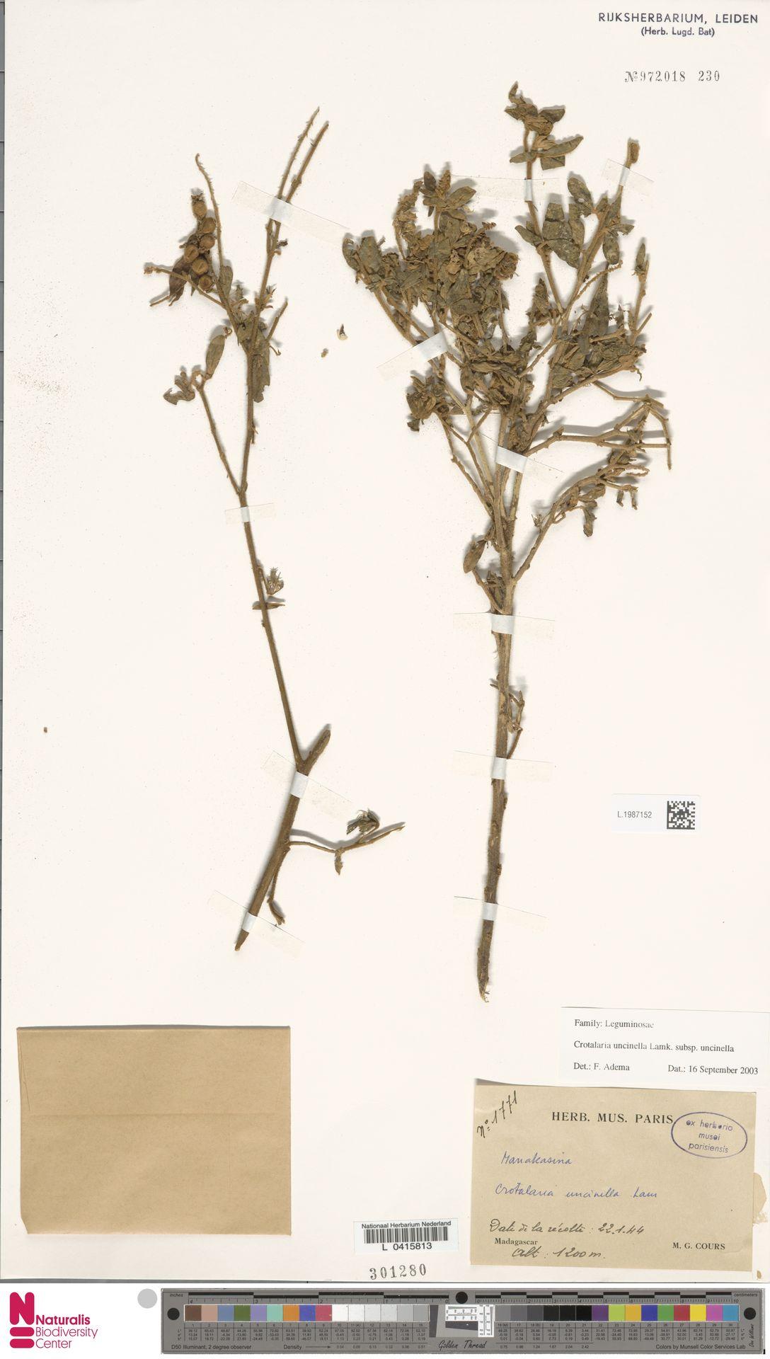 L.1987152 | Crotalaria uncinella subsp. uncinella