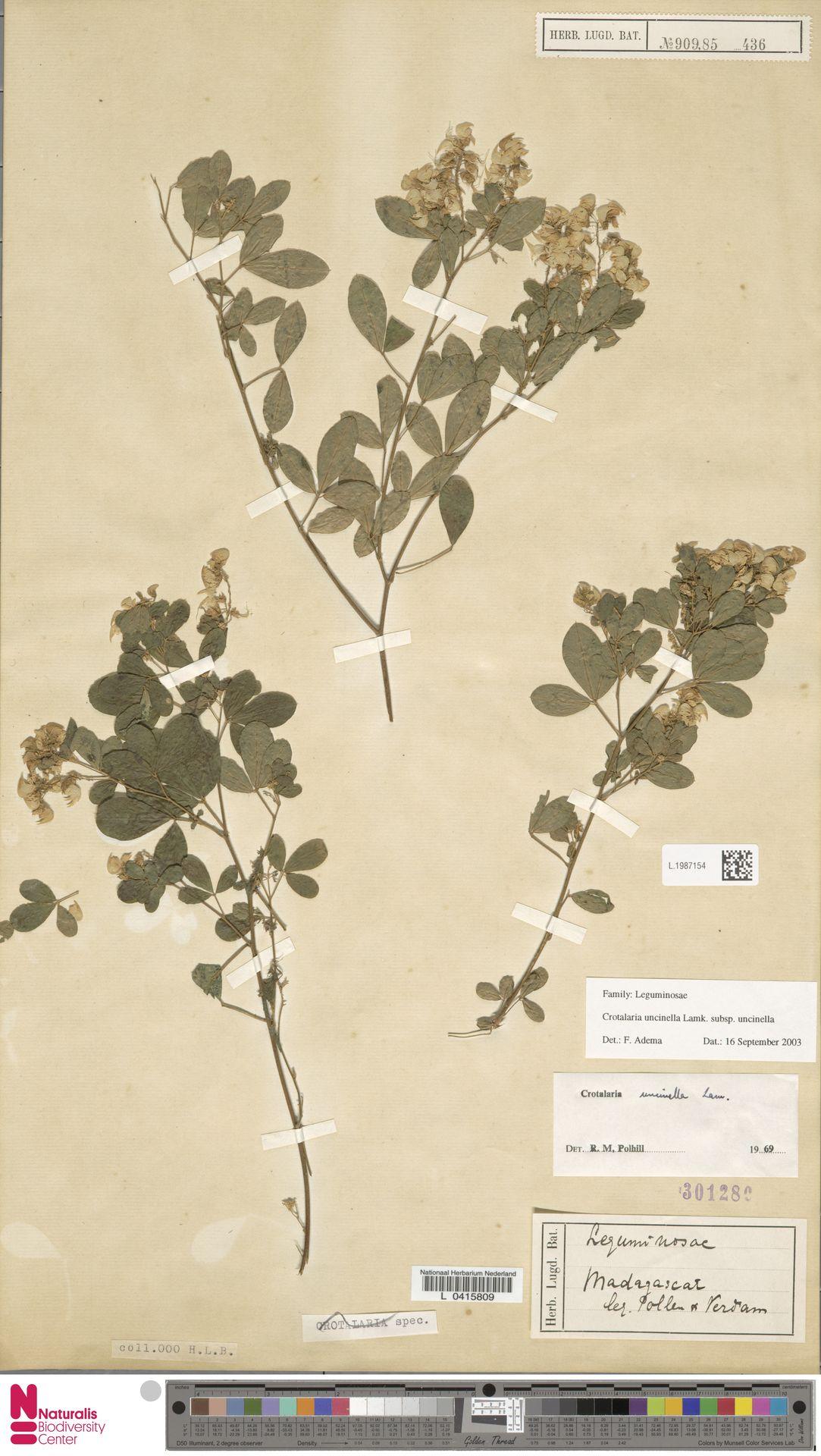 L.1987154 | Crotalaria uncinella subsp. uncinella