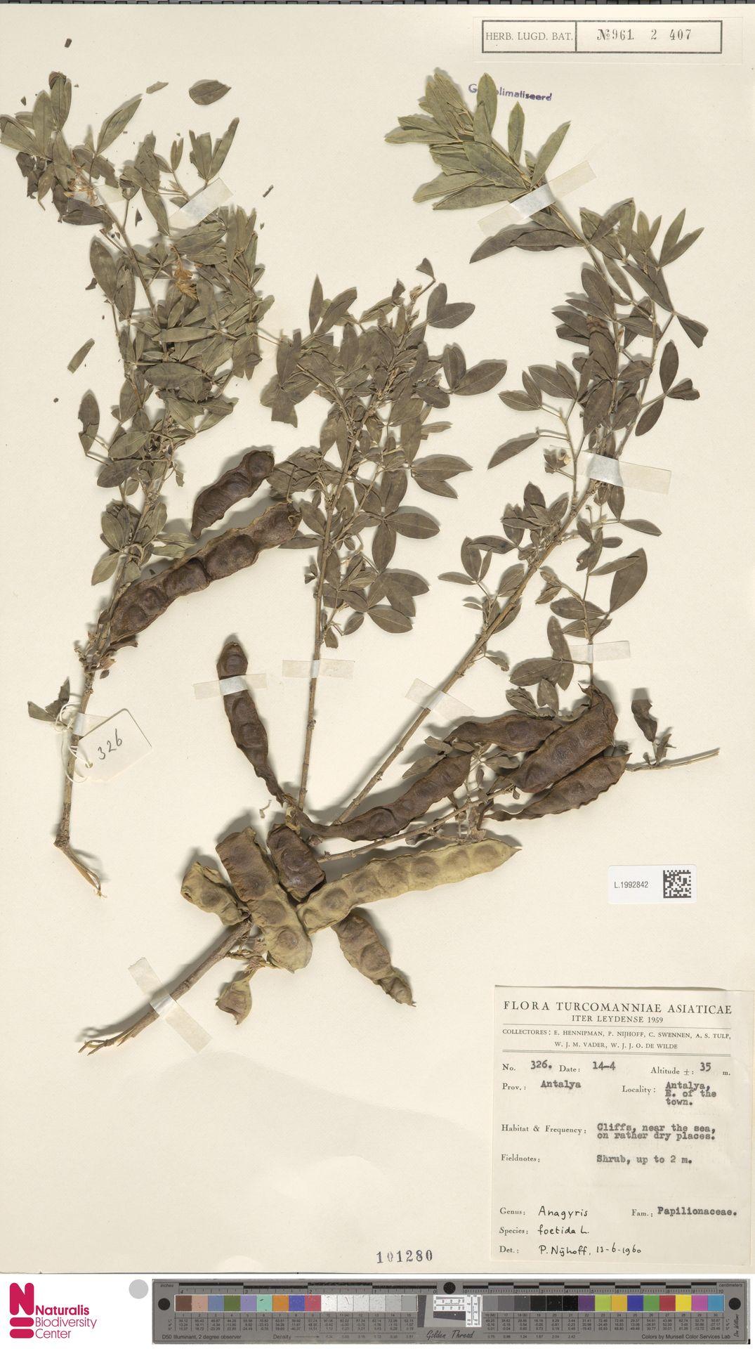 L.1992842   Anagyris foetida L.
