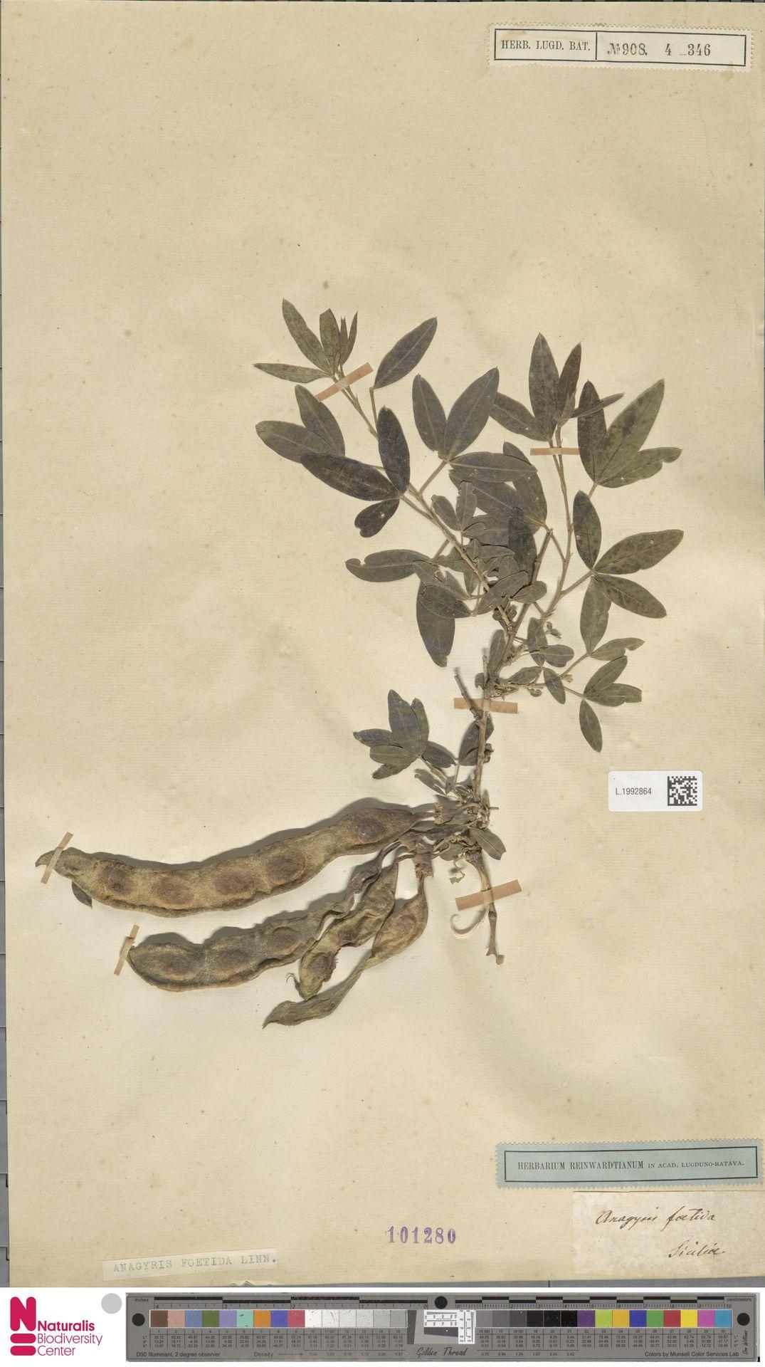 L.1992864 | Anagyris foetida L.